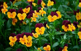 Preview wallpaper Many pansy flowers