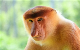 Preview wallpaper Proboscis monkey close-up