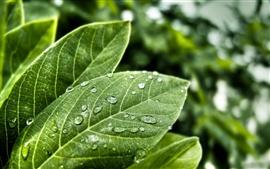 Las gotas de lluvia sobre las hojas verdes