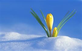 A flor da neve