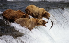 Three bears fishing fish