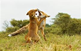 Duas raposas jogar