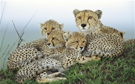 Preview wallpaper Cheetah family