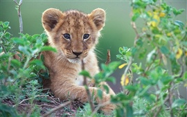Cute little lion in green bushes