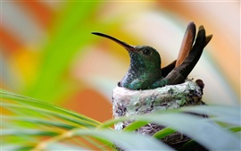 Preview wallpaper Hummingbird bird nest