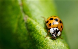 Preview wallpaper Macro insect green leaf ladybug