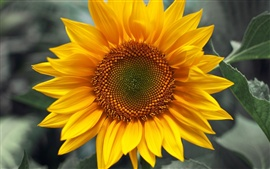 Preview wallpaper Sunflower yellow green