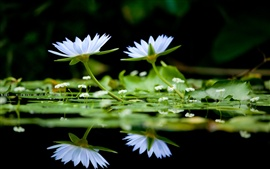 White lilies in the water