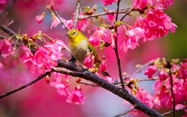 Preview wallpaper Cherry tree bird