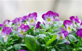 Preview wallpaper Purple pansy flower