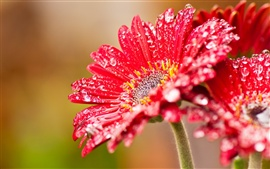 Red gerbera flowers after rain