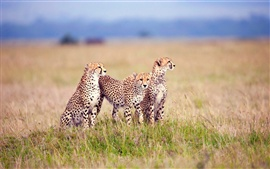 Savanna family of cheetahs