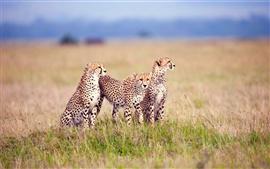 Aperçu fond d'écran Savanna famille de guépards
