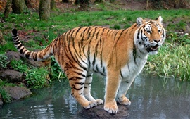 Preview wallpaper Tiger standing stone in creek