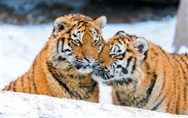 Preview wallpaper Two tigers in the snow