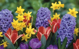 Daffodils tulips crocus hyacinth flowers