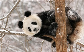 Panda bear winter snow