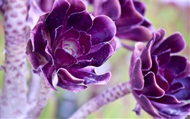 Preview wallpaper Two purple flowers macro