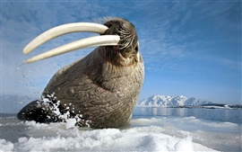 Preview wallpaper Walrus Arctic Ocean