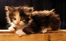 Preview wallpaper American bobtail kitten