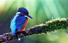 Blue kingfisher in spring