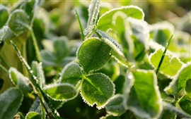 Preview wallpaper Frost green clover