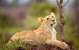 Preview wallpaper Lion lying in the tree side