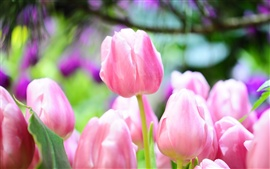 Preview wallpaper Pink tulip buds bright spring