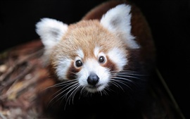 Preview wallpaper Red panda