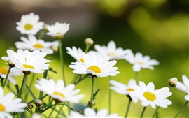 Preview wallpaper White daisies macro