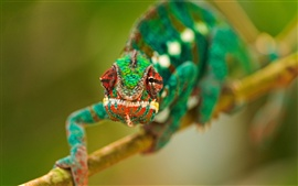 Preview wallpaper Amphibians, a chameleon