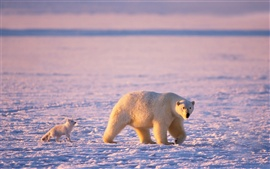 Arctic animals, polar bears and arctic foxes
