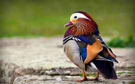 Beautiful feathers of the mandarin duck