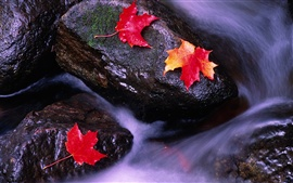 Canadian landscape, red maple leaf in streams