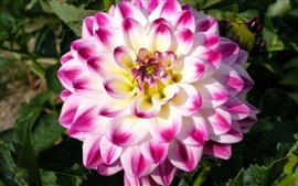 Dahlias close-up