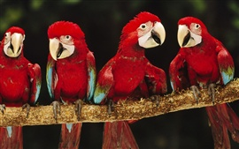 Preview wallpaper Four red parrot