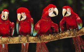 壁紙のプレビュー 4つの赤いオウム
