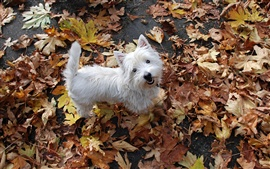 Preview wallpaper Maple Leaf everywhere, a small white dog