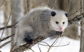 Possum in winter