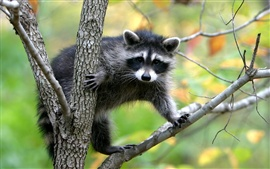 Preview wallpaper Raccoon climb tree