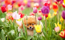 The dog in the tulip garden