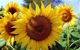 The midsummer golden sunflower