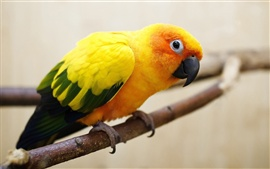 Preview wallpaper Yellow-orange feathers parrot