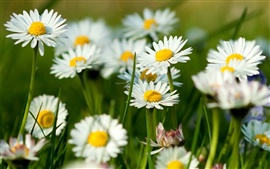 Preview wallpaper Camomile Flowers