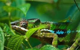 Chameleon with green leaves is difficult to distinguish