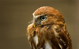 Close-up of the little owl