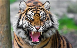 Preview wallpaper Ferocious tiger