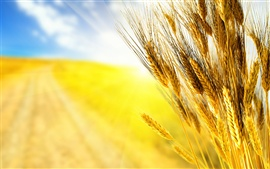 Preview wallpaper Golden wheat close-up