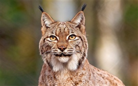 Preview wallpaper Lynx close-up