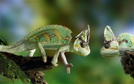 Preview wallpaper Two chameleon confrontation